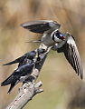 White-throated Swallow, Hirundo albigularis at Marievale Nature Reserve, Gauteng, South Africa. Sequence of two juveniles being fed on the fly by their parents. (15445893840).jpg