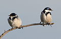 White-throated Swallow, Hirundo albigularis at Marievale Nature Reserve, Gauteng, South Africa (9703358532).jpg