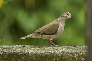 White-tipped dove species of bird