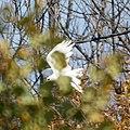 White Hawk (5107683167).jpg