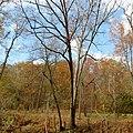 White Oak (30980790586).jpg