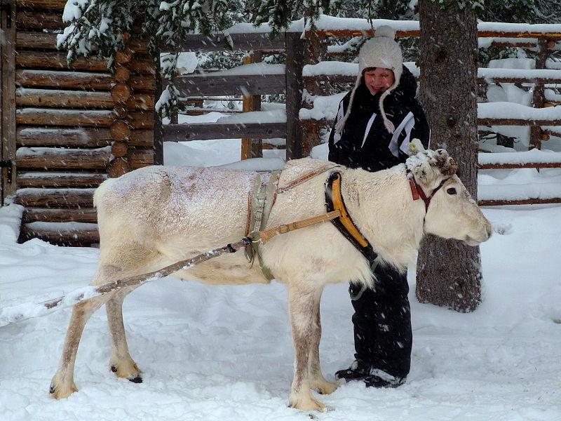 File:White Reindeer.jpg