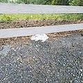 White Vienna Rabbit.jpg