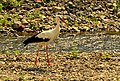 White stork- (Ciconia ciconia)- Бял щъркел.jpg