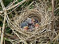 Whitethroat Nest 25-05-10 (4639703101).jpg