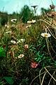 Wild Flowers at Kalikot, Nepal.jpg