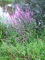 Wild flower near water 3.JPG