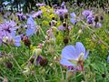Wildflower strip at Pensthorpe.jpg