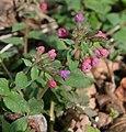 Wiosenna dziewiątka.Miodunka plamista, m. lekarska (Pulmonaria officinalis L.) - panoramio.jpg