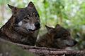 Wolf (3935371292).jpg