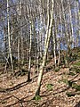 Woodland, Comrie - geograph.org.uk - 542930.jpg
