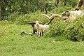 Wyn Cymru-lambs Wales--2.jpg
