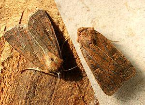 Spätsommer  Braune Spätsommer-Bodeneule – Wikipedia