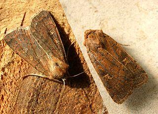 Square-spot rustic Species of moth
