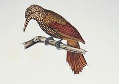Xiphorhynchus ocellatus Castelnau.jpg