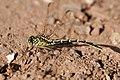 Yellow-striped hunter dragonfly.jpg