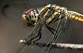 Yellow-tailed Ashy Skimmer (Potamarcha congener) W2 IMG 3828.jpg