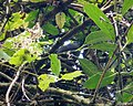 Yellow-thighed Finch Pselliophorus tibialis (41555147660).jpg