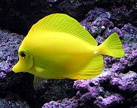 Yellow.tang.arp.jpg