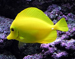 Bubbles is a Yellow Tang.
