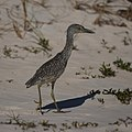 Yellow Crowned Night Heron Juvenile (5270948372).jpg