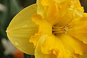 Yellow Daffodil Narcissus Closeup 3008px.JPG