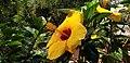 Yellow Hibiscus 2.jpg