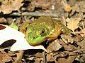 Young Bullfrog, Rana catesbeiana - Flickr - GregTheBusker.jpg