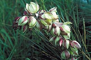 <i>Yucca neomexicana</i> species of plant