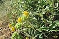 Zakynthos flora (MakGi) (35146640243).jpg
