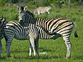 Zebra (6558959135).jpg