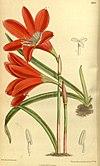 Zephyranthes cardinalis 140.8553