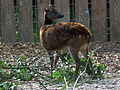 Zoo Landau weiblicher Prinz-Alfred-Hirsch.JPG