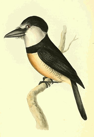 Zoological Illustrations Volume II Plate 99.jpg