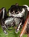 Zygoballus sexpunctatus chelicerae.jpg