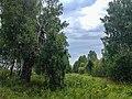 """""""Екатерининская"""" берёза на Старом Сибирском тракте - panoramio.jpg"""