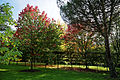"""'Acer rubrum' """"October Glory"""" Beale Arboretum - West Lodge Park - Hadley Wood - Enfield London.jpg"""