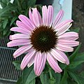 'Prairie Splendor Deep Rose' blush pink form echinacea purpurea IMG 4916-white.jpg