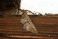 (1782) The Fern (Horisme tersata) (3640142256).jpg