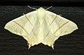 (1922) Swallow-tailed Moth (Ourapteryx sambucaria) (4746931190).jpg