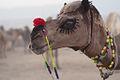 (3) Pushkar Fair, A camel dressed up like a bride.jpg