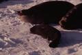 (Jubany) Crías de Lobos Marinos (1).png