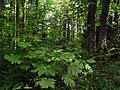 Šuma Acer heldreichii IMG 6872.jpg