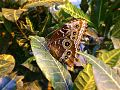 Бабочка-красавица.jpeg