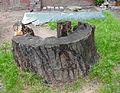 Борщагівський дуб 02.jpg