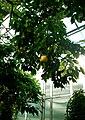 Донецький ботанічний сад - грейпфрут (Citrus paradisi) в оранжереї.JPG