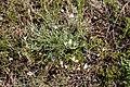 Заказник Великоцький Astragalus ucrainicus.jpg
