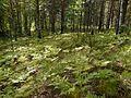 Заросли папоротника в лесу - panoramio.jpg
