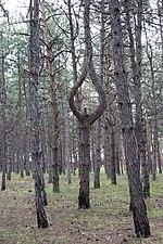 Интересные сосны Харчатовского леса.jpg