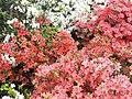 Рододендрони в ботанічному саду.jpg
